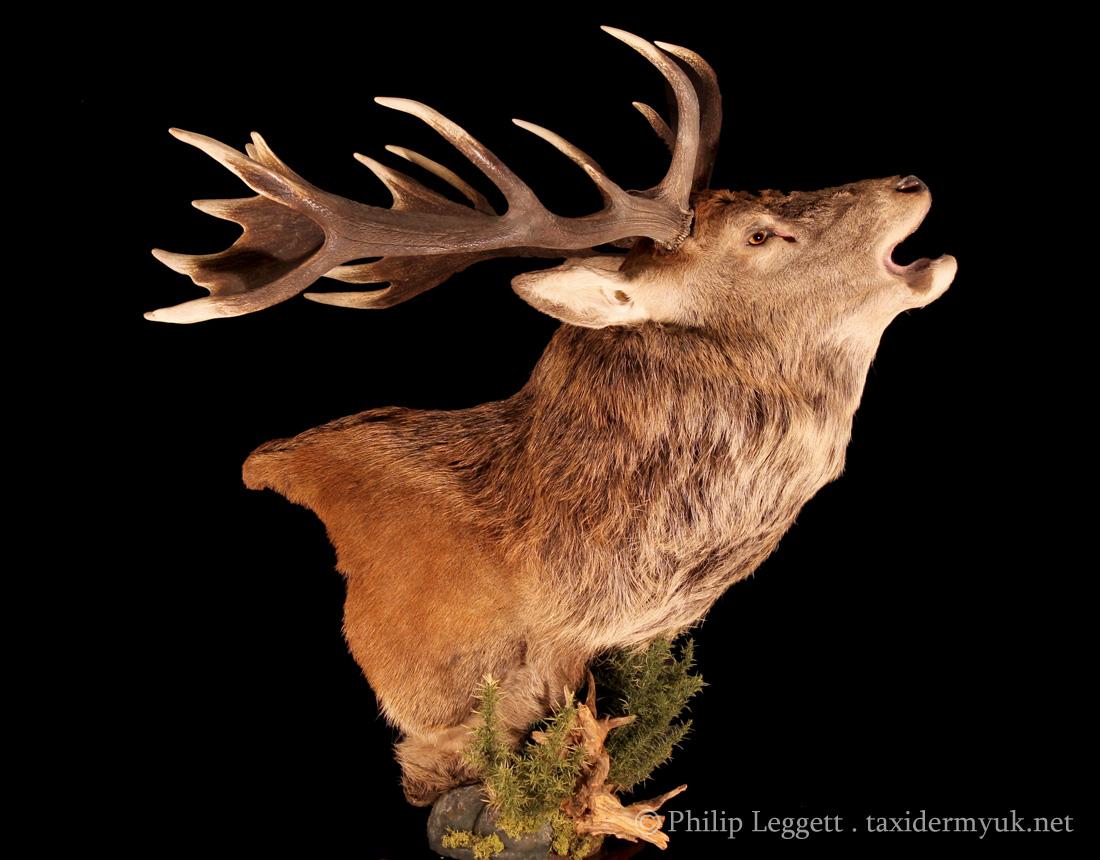 Red Deer Stag Roaring - Floor Pedestal Mount - Taxidermy UK