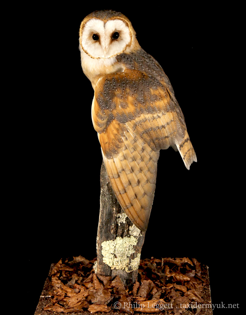 Barn Owl Taxidermy Uk