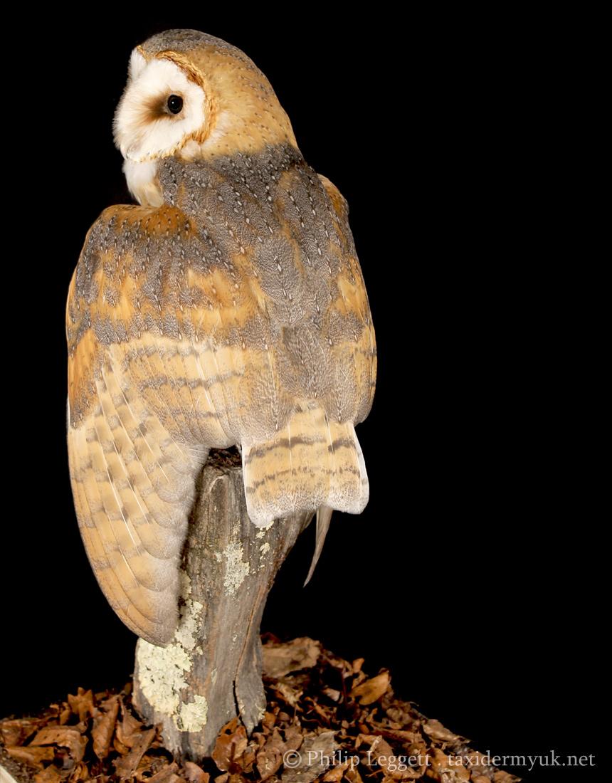 Barn Owl Taxidermy Uk