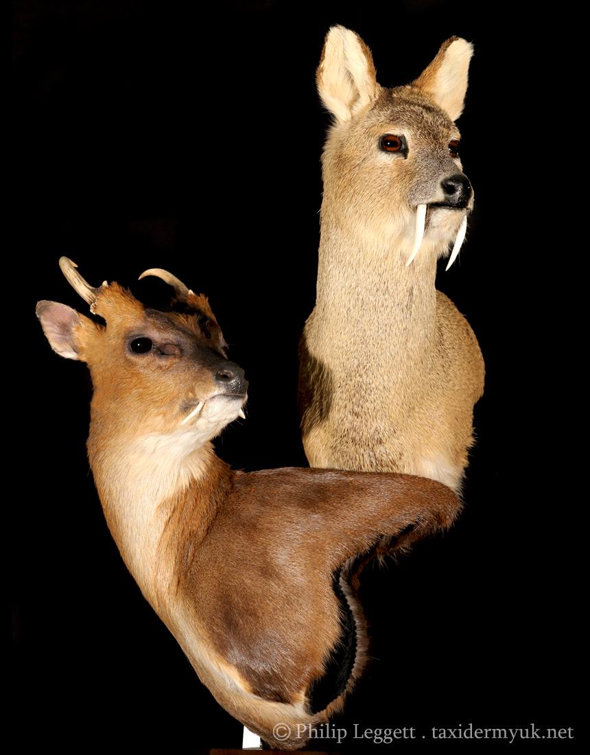 Chinese Water Deer And Muntjac Deer Taxidermy Uk